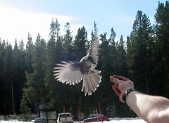 Coming in for a Landing (Heraldk) Tags: trip camping snow bird before finals feed greyjay