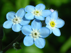 Forget-me-not (cocoi_m) Tags: blue flower forgetmenot babyblue macrophotograph themacrogroup naturemasterclass awesomeblossoms