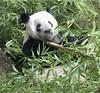 panda_rinrin