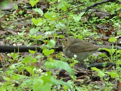 Let this be a Gray cheeked thrush!