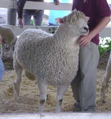 mass sheep and wool 016