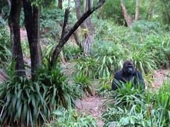 gorilla at animal kingdom