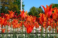 Tulipes oranges et rouges