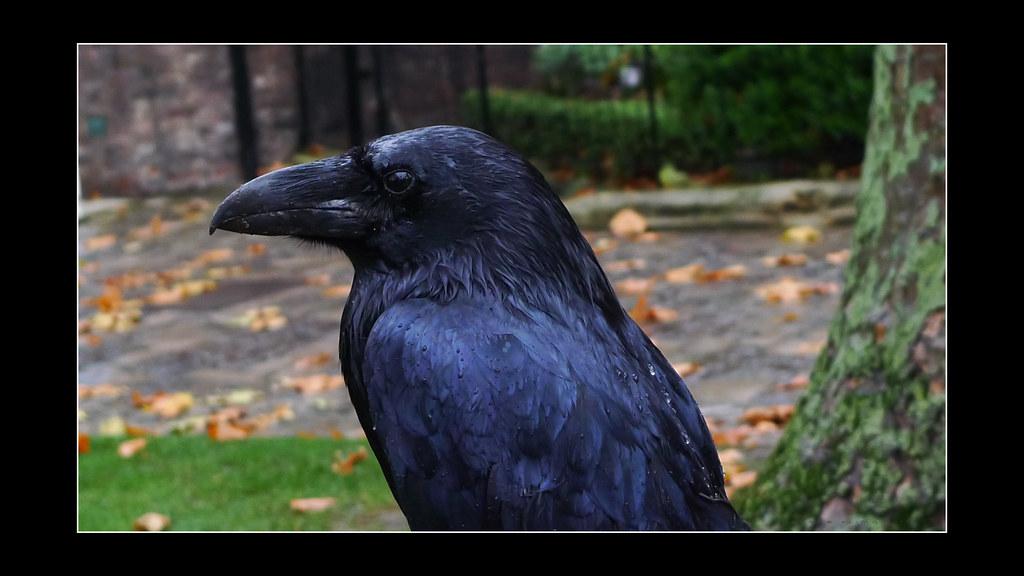 Ravens of the Tower of London / Les corbeaux de la Tour de Londres