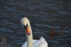Torbiere del Sebino (samuelloz) Tags: italien italy geotagged photo swan nikon europe italia photos italie itali photograpy  sebino   d7000 nikond7000 torbieretorbieredelsebino