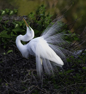 Great white Egret Display ( Please View Large ) ( Explored on 3-15-2014-#-447 )