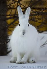 skogshare (3) (Johan Ylitalo) Tags: animal hare skogshare