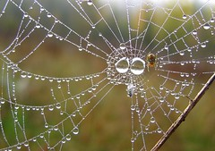liquid lookout (milomingo) Tags: autumn fall nature water insect botanical outdoors spider droplets drops web overcast dew refraction upnorth raining sanctuary multicolor soggy moist strands naturesfinest globular marinettecounty goodmanpark betterthangood northeasternwisconsin