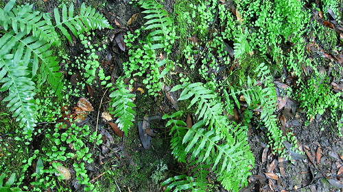 maidenhair and western sword fern