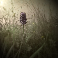 Marsh Orchid (Dactylorhiza Incarnata) Early Morning. (jimbodownie) Tags: morning sun orchid flower field grass scotland spring purple marsh sunlit rare hourofthediamondlight