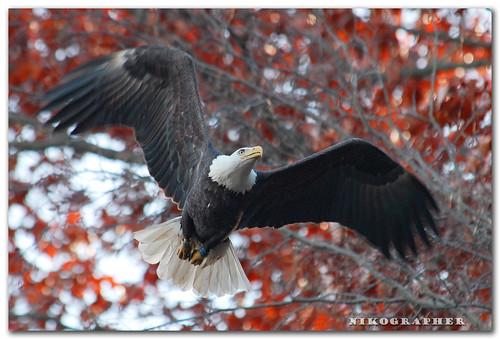 Bald Eagle (V34)