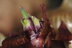 Onion, Maybe Slightly Past Its Prime (bbum) Tags: california usa macro flash sanjose 100mm onion sprout ringlight