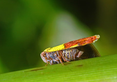 Oops, you got me naked (lenkline) Tags: macro planthopper extensiontube sbwr sungeibulohwetlandreserve singaporeflickrmeetup kenko14xtc nikon3570mmf28 011207 mmos mmosworkshopsoutings ws1shot