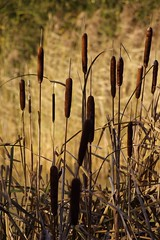 Bullrushes. IMGP2762 (Paul S Harrison (Paulspix)) Tags: park uk england water pentax britain united country great kingdom explore gb essex thurrock instantfave fineartphotos belhus mywinners k110d paulsharrison