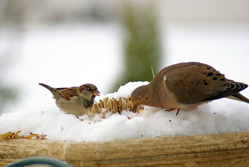 Dove and sparrow