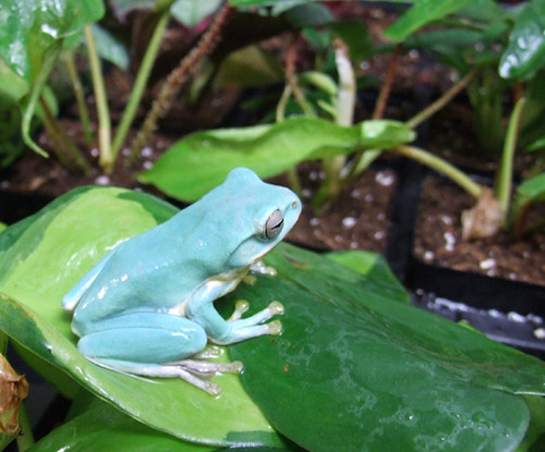 Vietnam Blue Tree Frog