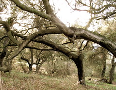 Bent Sycamores (Topanga Oaks, California, United States) Photo
