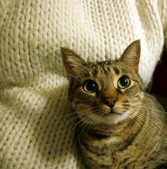 8/365. (~ielle~ ilarialuciani.com) Tags: cute me cat myself eyes iaia maggie io occhi sguardo tuesday 365 ila mybest gatto marted diamondclassphotographer flickrdiamond ilarialuciani