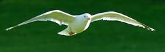 Gull Flight (grahambrown1965) Tags: bird sussex brighton pentax gull flight sigma eastsussex 70200mm aficionados abigfave k10d pentaxk10d aplusphoto thatsbostin justpentax 70200mmf28exdg