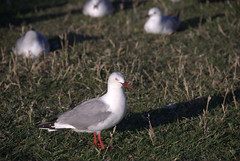 gull@Royal Albatross Colony