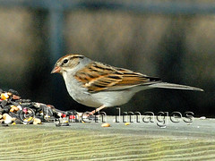 Chipping Sparrow 3-5 (Lynch Images) Tags: birds sparrow chipping keithville
