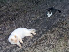 Kakashi and Sasuke (MyCatRanch) Tags: cat sasuke kakashi catranch mycatranch