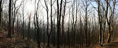 Matchsticks (z000p) Tags: wood trees winter autostitch panorama slr forest canon lens eos scotland hill kit 1855 ochil clackmannanshire 400d