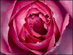 La vie en Rose (morbidly_obese) Tags: flower macro rose photo niceshot olympus explore delicate zuiko e500 dcr250 raynox 40150mm superbmasterpiece explorewinnersoftheworld exquisiteflowers