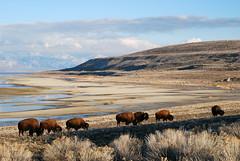 A gathering of bulls (Great Salt Lake Images) Tags: utah antelopeisland greatsaltlake bison buffalobay