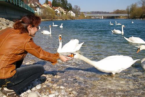 Feeding the Wild Swan