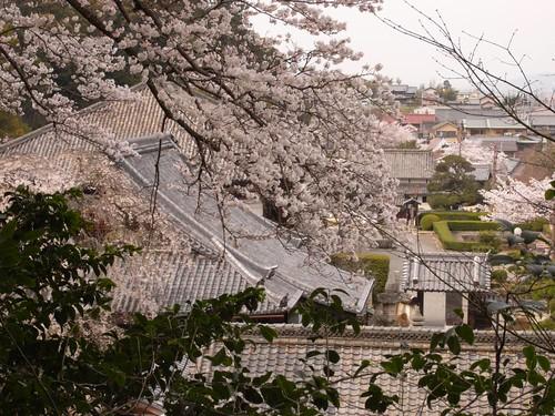 当麻寺(桜)-14