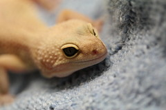 The Re-emergence of Hunter (rossmat5msu) Tags: macro sweater eyes dragon reptile lizard albino hunter gecko leopardgecko