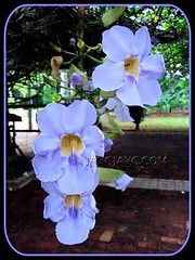Thunbergia laurifolia (Blue Trumpet Vine, Blue Sky Vine, Laurel Clock Vine), at Botanical Garden Putrajaya in Malaysia