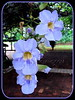 Thunbergia laurifolia Lindl. (Blue Trumpet Vine, Blue Sky Vine, Laurel-leaved Thunbergia, Laurel Clock Vine, Babbler's Vine)