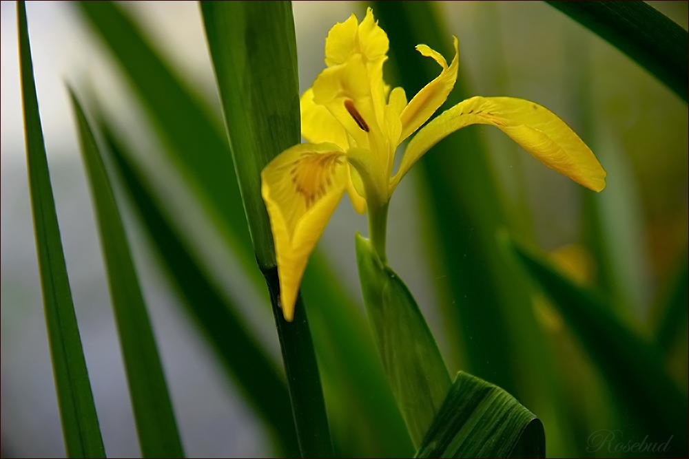 untitled (water iris) ©2008 RosebudPenfold