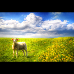 Silence... (Dimitri Depaepe) Tags: flowers blue sky yellow clouds landscape bravo silence lamb gras prairie hdr mouton orton themoulinrouge firstquality abigfave aplusphoto bratanesque megashots goldstaraward magicdonkeysbest photoexel lesamisdupetitprince moutonlesamisdupetitprince