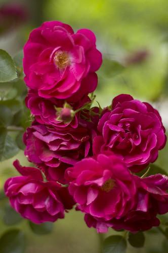 wild roses 1