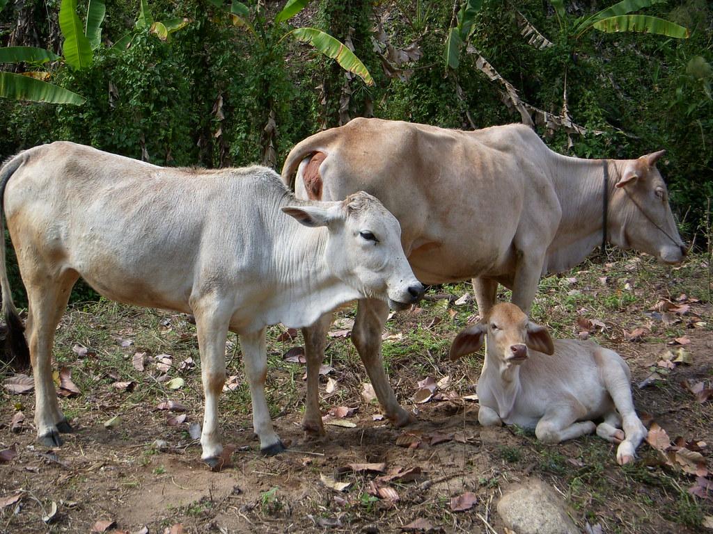 Vacas famelicas