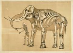 Benjamin Waterhouse Hawkins drawing, courtesy of Wikipedia