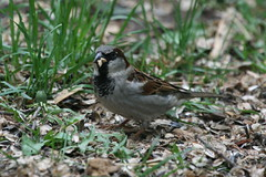 House Sparrow by Birdfreak.com