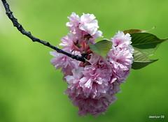 Cherry Jubilee (deerluvr) Tags: ontario cherryblossoms niagraonthelake fantasticflower