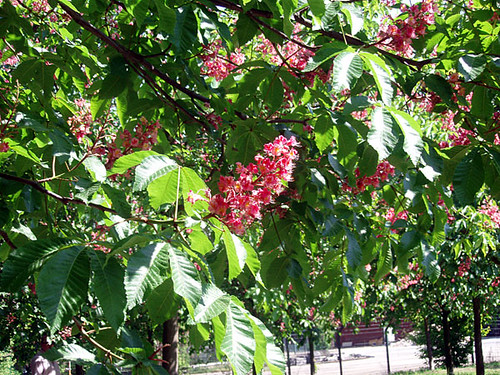 Blossoms of the red chestnut tree