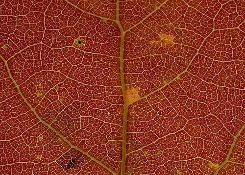 Eastern Cottonwood Leaf