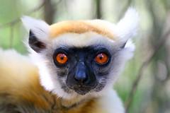 Golden-crowned Sifaka (Clare Storry) Tags: lemur madagascar2007 daraina goldencrownedsifaka propithecustattersalli