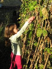 Under gardener - picking beans