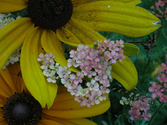 BESPlus_20071020_2.jpg (faeparsons) Tags: flowers blackeyedsusan