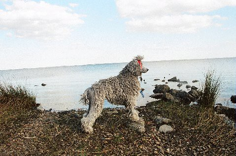 Winston - Silver Brindle Mismark Standard Poodle in a Historically Correct