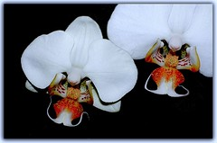 Twin Dragon (Shamrock2) Tags: flowers flower leaves closeup nikon searchthebest d70 dslr macroshot smörgåsbord flowerotica flickrdiamond faceofportraits