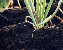 DSC8246 (ueocarp) Tags: plant green vegetables japan negi hatake