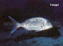 2055437688 37bc275a41 mercan balığı nasıl avlanır